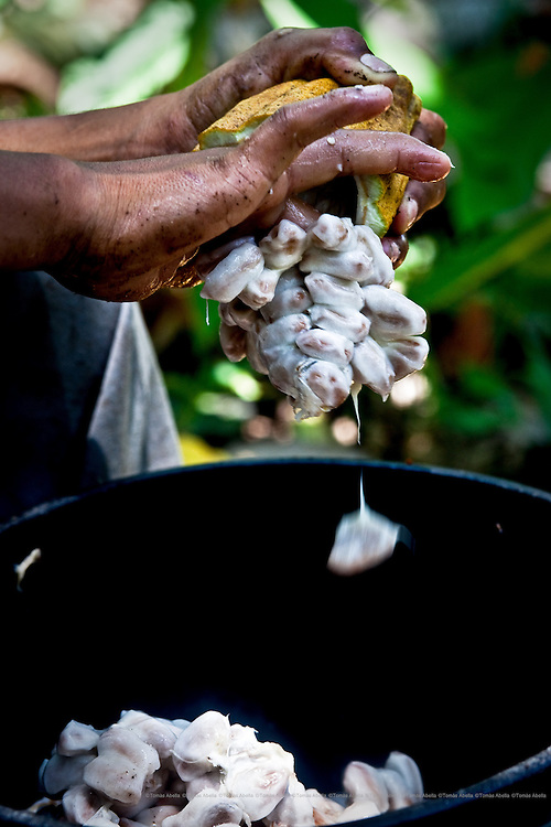 Once the cocoa beans have been extracted from the pod, they are placed in a wooden box to ferment for three days. The development of the flavours and aromas depend upon this process for making the finest chocolate. Mexico.