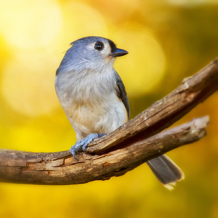 Mr. Titmouse Soaking Up Some Warmth In The Morning Sun