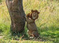 A male Lion, Panthera leo  melanochaita, claws at the bark of a tree in Maasai Mara National Reserve, Kenya