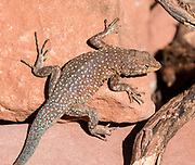 Common side-blotched lizard (Uta stansburiana). Hike the Hermit Trail from Hermits Rest to Lookout Point. Grand Canyon National Park, Arizona, USA.