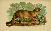 The jaguarundi (Herpailurus yagouaroundi) [Here as Eyra (Felis eyra)] is a wild cat native to the Americas. Its range extends from central Argentina in the south to northern Mexico, through Central and South America east of the Andes. The jaguarundi is a medium-sized cat of slender build. Its coloration is uniform with two color morphs, gray and red. It has an elongated body, with relatively short legs, a small, narrow head, small, round ears, a short snout, and a long tail, From the book ' A handbook to the carnivora : part 1 : cats, civets, and mongooses ' by Richard Lydekker, 1849-1915 Published in 1896 in London by E. Lloyd