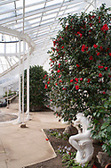 """Camellia japonica ''Aitonia', a red camellia blooming next to a marble statue, """"Ishmael' in the conservatory at Chiswick House, Chiswick, London, UK"""