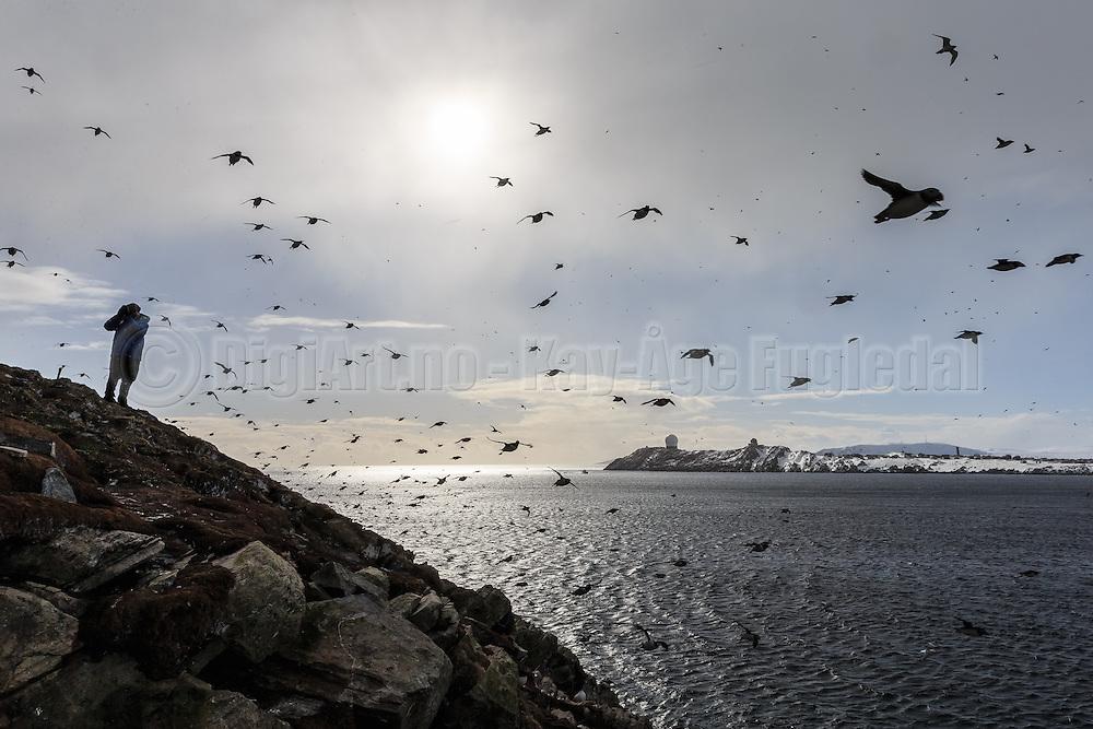 A flock of birds coming in from the ocean to sit down in the birdmontain at Hornøya, Norway   En flokk med fugler kommer inn fra havet  for å slå seg til i fuglefjellet ved Hornøya, Norge.