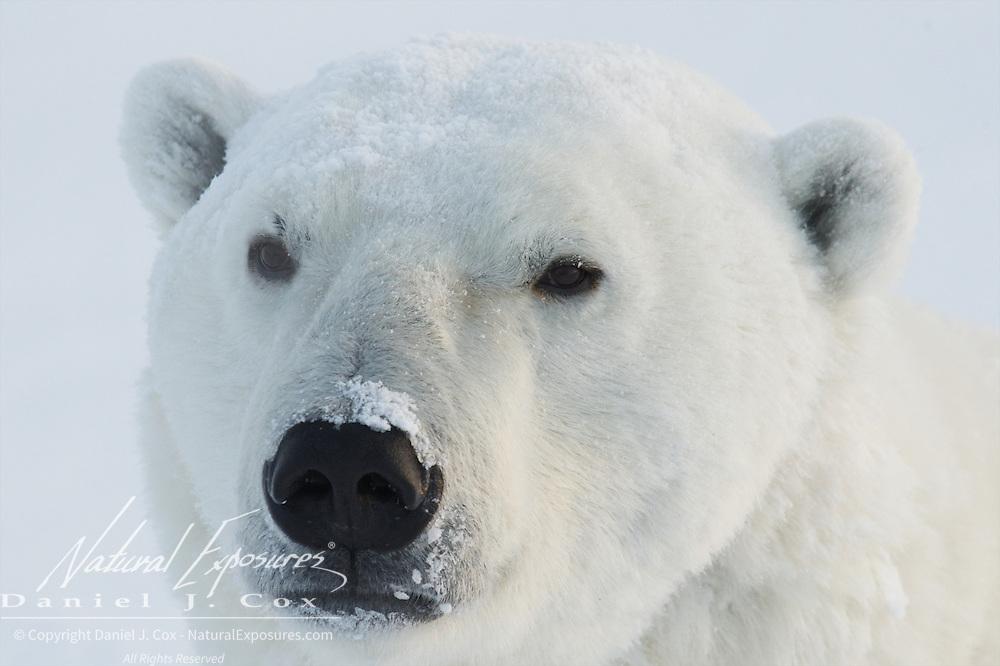 Polar bear, large male, Cape Churchill, Hudson Bay, Manitoba.