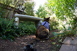 Zelda the cat wanders the back yard of her home in Oakland, Calif., Wednesday, June 10, 2020. (Photo by D. Ross Cameron)