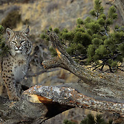 Bobcat (Lynx rufus) adult in the Rocky Mountains.  Captive Animal.