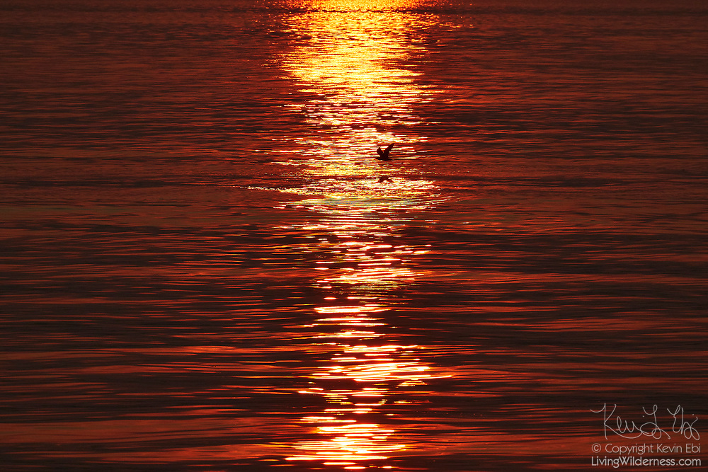 A gull flies across the sun's glint on Puget Sound in this view from the Edmonds, Washington, waterfront. The sun's reflections on the water are especially red because of thick smoke in the air from nearby wildfires.