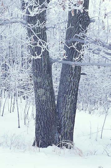 Minnesota, Winter snow blankets woodland of northern Minnesota.