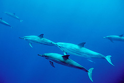 spinner dolphins, .Stenella longirostris, .note color morph, .Kona, Hawaii (Pacific).