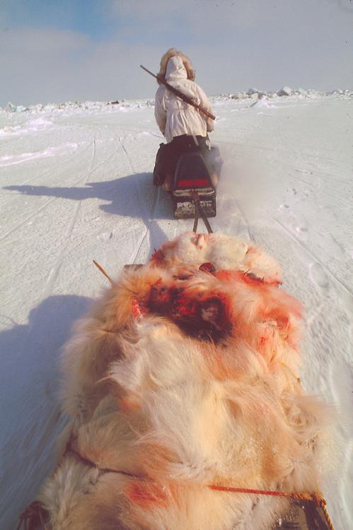 Alaska . Native hunter carrying away the carcass of a polar bear .