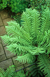 Overhead view of Dicksonia antarctica - tree fern in a small town garden