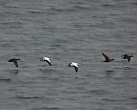Five Common Eider's in flight. Viewed from the deck of the MS Kong Harald. Image taken with a Nikon D2xs camera and 80-400 mm VR lens (ISO 400, 400 mm, f/5.6, 1/180 sec)