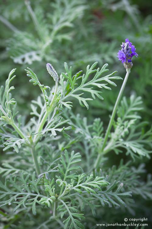 Lavandula × christiana. Feathered lavender