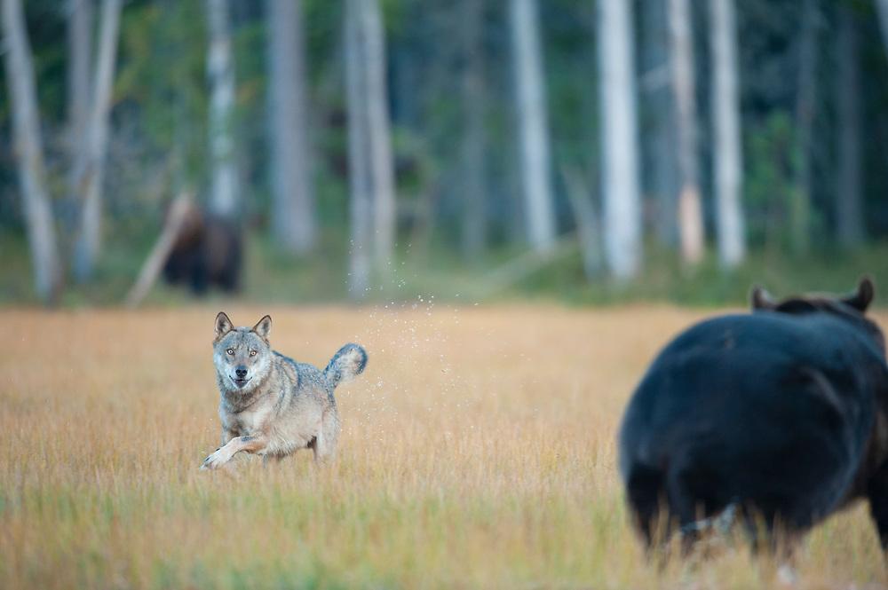 Eurasian wolf, Canis lupus, together with Eurasian brown bear, Ursus arctos, Kuikka, Kainuu, Finland, on the border with Russia