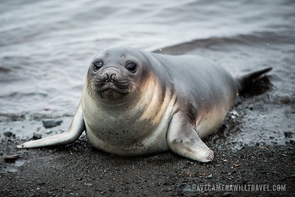 A Southern Elephant seal calf emerges from the water onto the beach on Livingston Island in the South Shetland Islands, Antarctica.