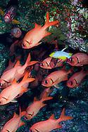 Brick Soldierfish, Myripristis amaena (Castelnau, 1873)