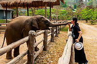 Feeding elephants, Thai Elephant Conservation Center (National Elephant Institute), Lampang, near Chiang Mai, Northern Thailand