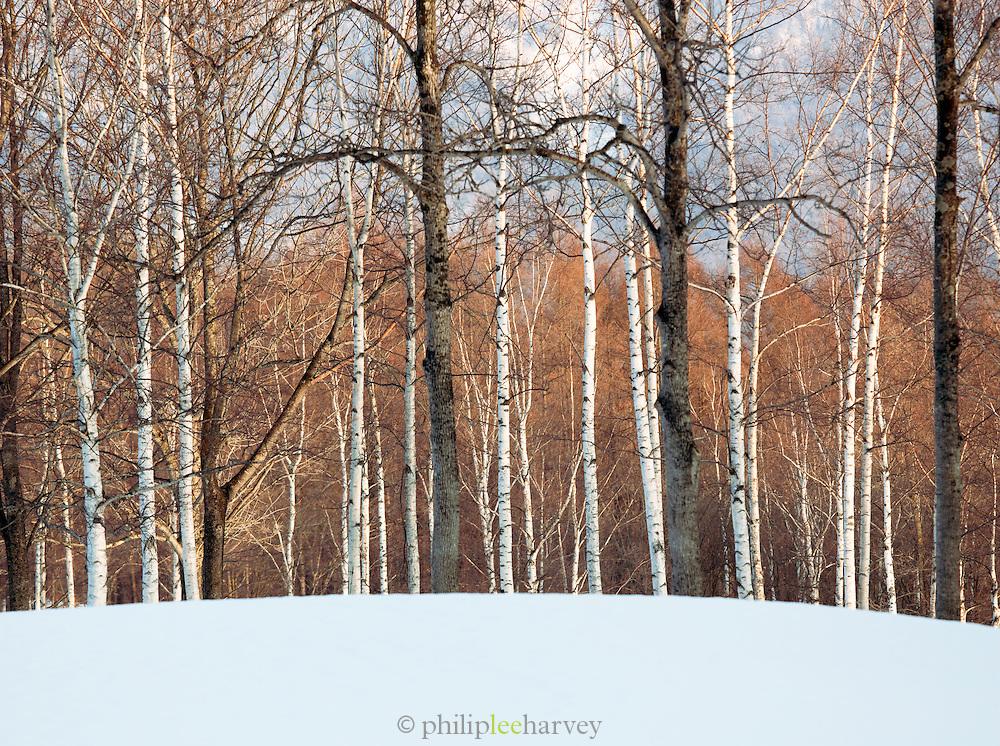 Birch trees in woodland in Niseko, Hokkaid?, Japan