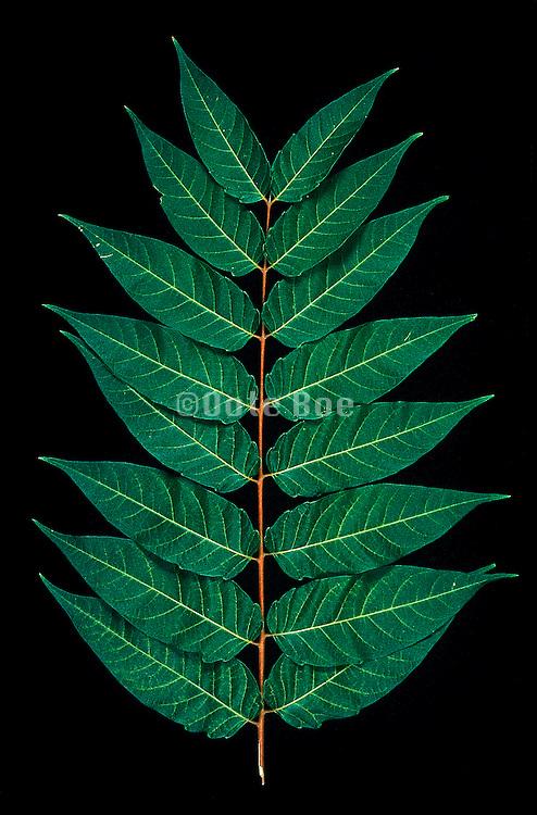 Splayed leaves