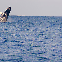 Humpback Whale Breaching 2 of 9