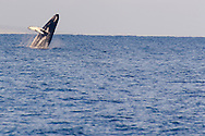Humpback Whale Breaching 2 of 9