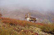 Fog lifts above caribou bull on hillside, autumn tundra, Denali National Park, Alaska, © David A. Ponton