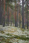 "Lichen rich scots pine forest on inland dunes, protected landscape area ""Ziemeļgauja"", Latvia Ⓒ Davis Ulands | davisulands.com"