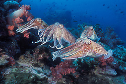 A female Pharaoh Cuttlefish, Sepia pharaonis, hovers near a soft coral (far left) while positioning herself to deposit one fertilized egg at a into a crevice to deposit eggs while 3 males compete for the chance to mate with her. During such courtship rivalries, males display spectacular, rapidly changing color patterns, probably meant to intimidate their rivals. Richelieu Rock, Thailand, Andaman Sea, Indian Ocean