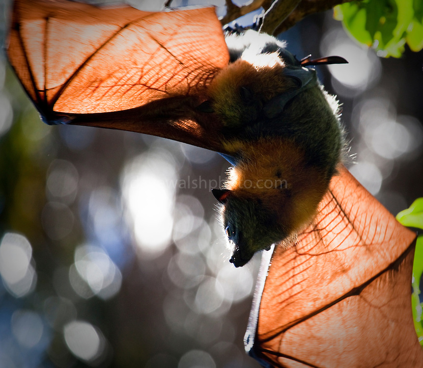 Grey Headed Flying Fox and young taking off from tree, Smiths Lake, New South Wales