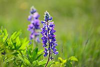 Spring lupins near Whitehorse, Yukon