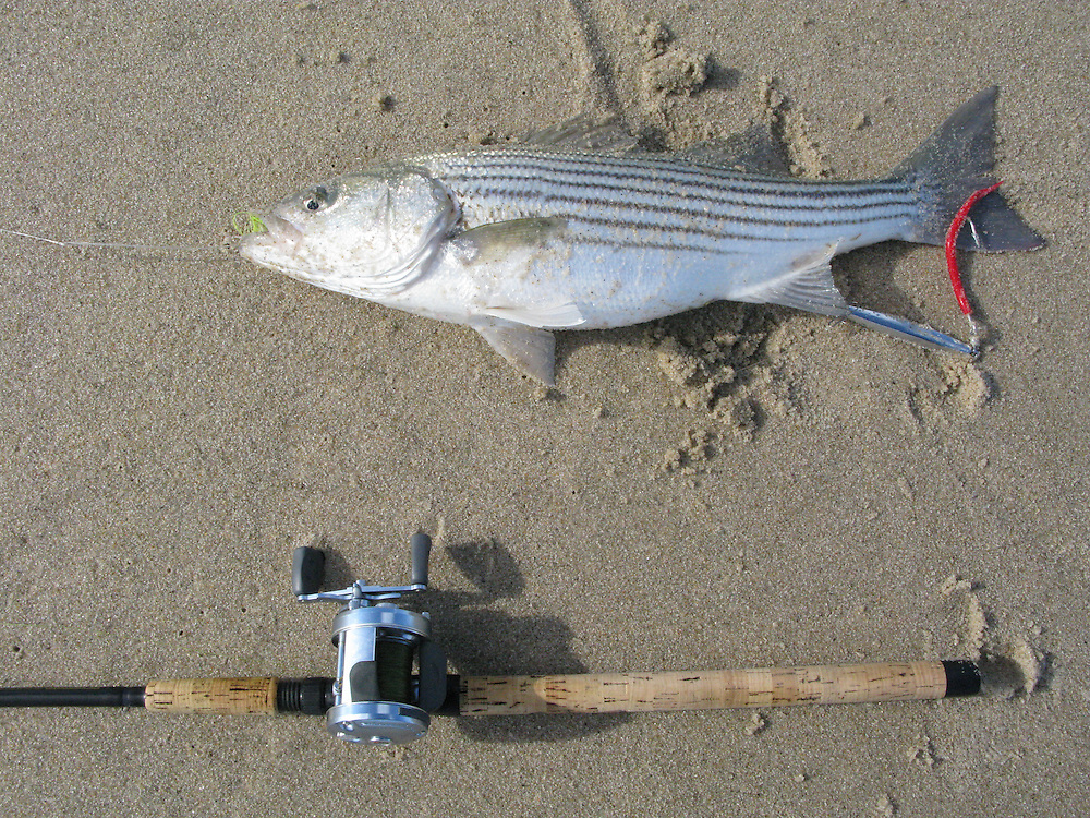 A striped bass taken from the surf of Sandy Hook Gateway National Park New Jersey.   This fish eat a chartruse and white teaser ahead of a red Ava jig