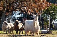 GANADO OVINO Y CAPRINO EN UNA GRANJA, SAN ANTONIO DE ARECO, PROVINCIA DE BUENOS AIRES, ARGENTINA (PHOTO © MARCO GUOLI - ALL RIGHTS RESERVED)