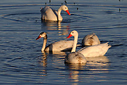 A family of two adult and two young Coscoroba Swans (Coscoroba coscoroba)  El Calafate, Argentina. 01Mar13