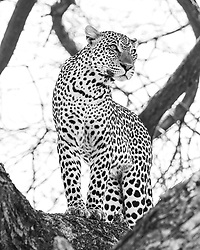 """Leopard in a tree in Samburu National Reserve. I saw this leopard in northern Kenya's Samburu National Reserve go from napping to ready to pounce in seconds. The slightest distant sound of hooves awoke this predator, alerting her to her next meal. Watching her taught me the power of natural sounds and instinct. <br /> <br /> BIO: Pete McBride has spent two decades studying the world with a camera. A self-taught photographer, filmmaker, writer, and public speaker, he has traveled on assignment to over 75 countries for the National Geographic Society, Smithsonian, Google, The Nature Conservancy and spoken on stages for TEDx, The World Economic Forum, USAID, Nat Geo Live and more. <br /> <br /> After a decade documenting remote expeditions from Everest to Antarctica, McBride decided to focus his cameras closer to home on a subject closer to his heart—his backyard river, the Colorado. Four years and 1500 river-miles later, McBride produced an acclaimed book, three award-winning documentaries and co-hosted a PBS TV program. Other watersheds soon called, including a source-to-sea look at India's sacred Ganges River.<br /> <br /> His latest project replaced rafting with walking—a lot of it. Over the course of a year, McBride hiked the entire length of Grand Canyon National Park— over 750 miles without a trail — to highlight development challenges facing this iconic landscape. McBride has since released a Rizzoli book, """"Grand Canyon: Between River and Rim"""" that won a National Outdoor Book Award and a feature-length documentary, Into the Grand Canyon for National Geographic Channel, which won Best Feature at the Banff Mountain Film Festival among others. <br /> <br /> McBride resides in the Rocky Mountains of Colorado.  <br /> <br /> WEBSITE: petemcbride.com<br /> INSTAGRAM: @pedromcbride"""