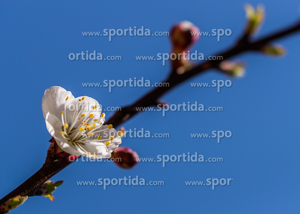 THEMENBILD - in Zweig mit Marillenblüten eines blühenden Marillenbaumes, aufgenommen am 18. April 2018 in Kaprun, Österreich // a branch with apricot blossoms of a flowering apricot tree, Kaprun, Austria on 2018/04/18. EXPA Pictures © 2018, PhotoCredit: EXPA/ JFK
