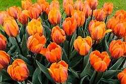 Tulpen oranje, Tulipa spec, orange tulips, Holland, Netherlands