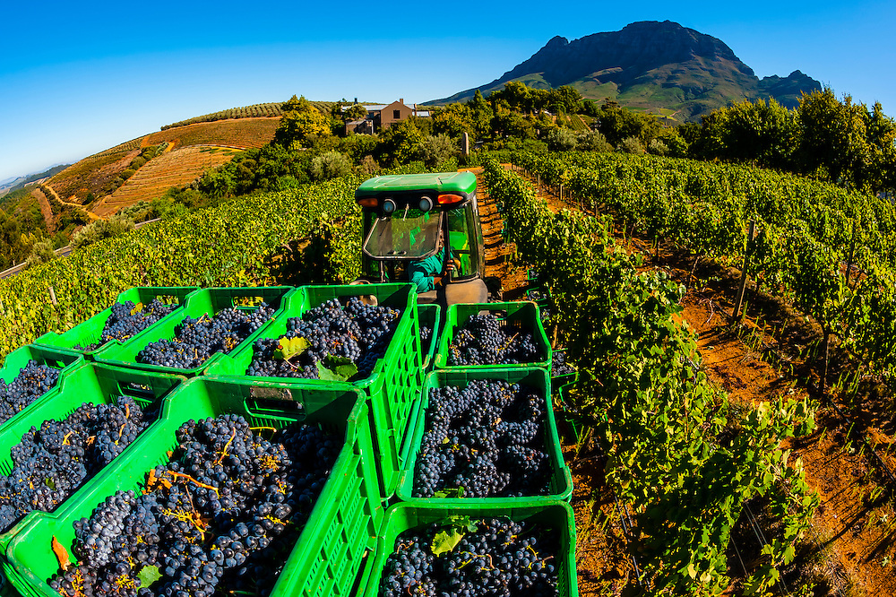 Just picked Merlot grapes are picked up from the vineyards and carried by a tractor for sorting and crushing during the wine harvest at Delaire Graff Wine Estate atop Helshoogte Pass, near Stellenbosch, Cape Winelands (near Cape Town), South Africa.