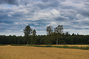 Clouds over wheat fields and few birch trees in between, near Aloja, Northern Vidzeme, Latvia Ⓒ Davis Ulands | davisulands.com