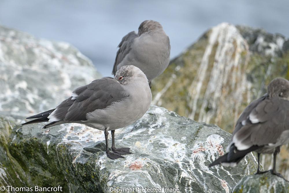Heermann's Gulls roost on the rocks by Edmonds Pier.