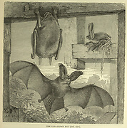 The Long-Eared Bat From the book ' Royal Natural History ' Volume 1 Edited by  Richard Lydekker, Published in London by Frederick Warne & Co in 1893-1894
