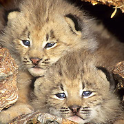Canada Lynx, (Lynx canadensis) Montana. Young kittens in den in hollow log. Spring.   Captive Animal.