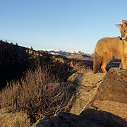 Coyote, (Canis latrans) Adult in foothills of Rocky mountains. Fall. Montana.  Captive Animal.