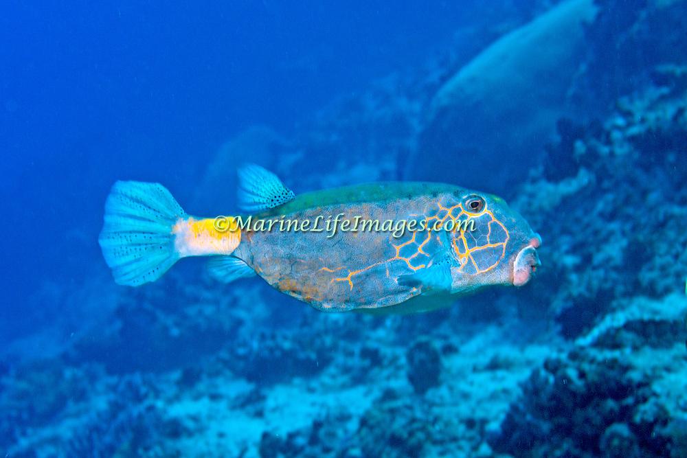 Yellow Boxfish inhabit reefs. Pictue taken Fiji.