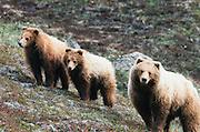 Alaska. Denali NP. Grizzly Bear (Ursus horribilis) sow with twin cubs.