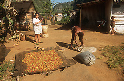 Drying coffee beans on small farm near Vinales; Cuba,