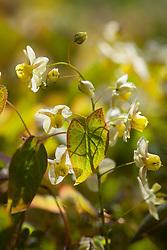 Epimedium × versicolor 'Neosulphureum'