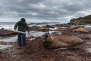 Biologist and researcher Dr. Filippo Galimberti, taking measures of the noose of a southern elephant seals, Mirounga leonina.