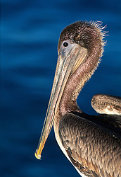 Portrait profile of a pelican against a blue background