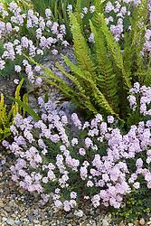 Aethionema grandiflorum syn. A. pulchellum - Stone cress with fern on the rock garden at Glen Chantry