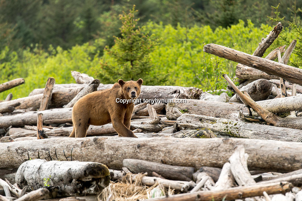 hunting brown bear in coastal alaska
